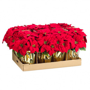 "9"" Bulk Poinsettia buy at Florist"