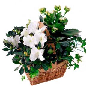 DHL Flowers IV buy at Florist