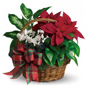 Holiday Poinsettia Basket buy at Florist